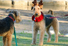 Funny big dogs meet in standoff in Christmas outfit Stock Photos