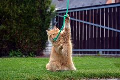 Funny big ginger cat playing game. On the garden Royalty Free Stock Photo