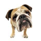Funny big head bulldog portrait in a white studio Stock Photo