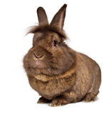Funny big head chocolate colored lionhead rabbit. Isolated on white background stock photography