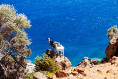 Funny big and little goat standing on ocean coastline cliff Stock Image