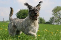 Active large schnauzer in the park royalty free stock photo