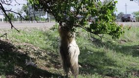 Funny big thoroughbred goat with huge horns chewing foliage from a tree and getting two feet, not far from Tbilisi. A funny big thoroughbred goat with huge horns stock video