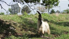 Funny big thoroughbred goat with huge horns chewing foliage from a tree and getting two feet, not far from Tbilisi. A funny big thoroughbred goat with huge horns stock video footage