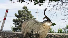 Funny big thoroughbred goat with huge horns chewing foliage from a tree and getting two feet, not far from Tbilisi. A funny big thoroughbred goat with huge horns stock footage