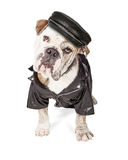 Funny Biker Bad Bulldog Breed Dog. Funny photo of a large Bulldog breed guard dog wearing leather hat, spiked collar and jacket Royalty Free Stock Photos