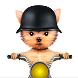 Funny biker dog sitting on a chopper. Royalty Free Stock Photography