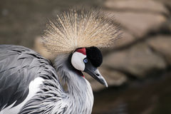 Funny bird. African crowned crane portrait Stock Images