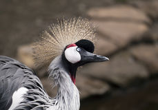 Funny bird. African crowned crane portrait Stock Image