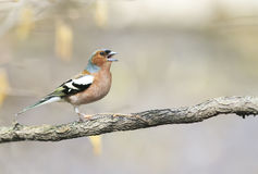 Funny bird Chaffinch leaping singing the song in spring Park Stock Photos
