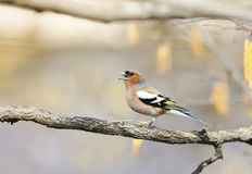 Funny bird Chaffinch leaping singing the song in spring Park Stock Image