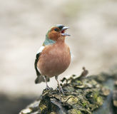 Funny  bird Chaffinch in the Park on a tree and sings Royalty Free Stock Photo
