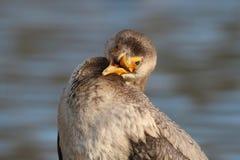 Funny Bird - Cormorant Close Up with an Open Beak royalty free stock image