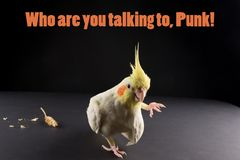 Funny bird memes, quote Who are you talking to, punk. Cute Lutino Yellow Cockatiel. Baby parrot royalty free stock image