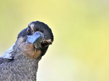 Funny bird portrait. (brown magpie Stock Image
