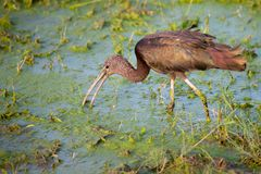Funny bird is standing in the water. Scenery of Kenya Royalty Free Stock Photo