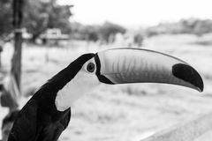 Funny bird of toucan royalty free stock photo