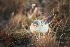 Funny birds searching for eating in the Abruzzo National Park.  royalty free stock photos