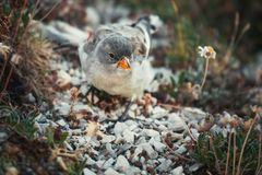 Funny birds searching for eating in the Abruzzo National Park.  royalty free stock photo