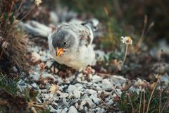 Funny birds searching for eating in the Abruzzo National Park.  stock images