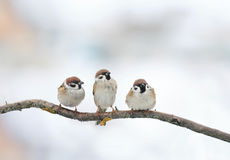 Funny birds Sparrow sitting on a branch in winter. Three funny birds Sparrow sitting on a branch in winter royalty free stock image