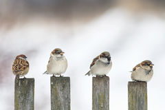 funny birds Sparrow sitting on an old wooden fence and looking in different directions royalty free stock photo