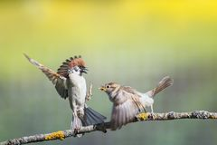 Funny birds sparrows on a branch in a sunny spring garden flapping their wings and beaks. Two funny birds sparrows on a branch in a sunny spring garden flapping royalty free stock image