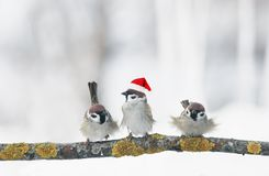 Funny birds sparrows in Christmas winter garden sitting on a bra. Nch in a red cap stock images