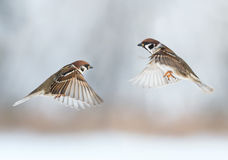 Funny birds sparrows are flying towards each other, wings spread Royalty Free Stock Image