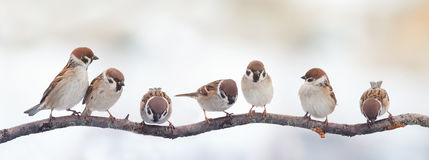 Funny birds sparrows sitting on a branch on the panoramic picture. A lot of small funny birds sparrows sitting on a branch on the panoramic picture stock photo