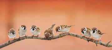 Funny birds sparrows sitting on a branch on the panoramic picture. A lot of small funny birds sparrows sitting on a branch on the panoramic picture stock image