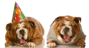 Funny birthday bulldogs Stock Photos