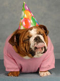 Funny birthday dog Stock Image