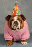 Funny birthday dog. Birthday dog - english bulldog dressed up for birthday party Royalty Free Stock Photo