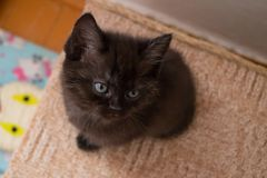 Funny black British kitten with blue eyes sitting on cat house and looking up. Cute black British kitten sitting on cat house and looking up Royalty Free Stock Photos