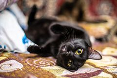 Funny black cat at home. Funny beautiful black cat at home royalty free stock images