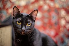 Funny black cat at home. Funny beautiful black cat at home royalty free stock photography