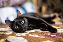 Funny black cat at home. Funny beautiful black cat at home stock photos