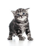 Funny black cat kitten on white Royalty Free Stock Image