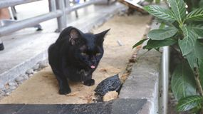Cute Black Cat with the Tongue Out while Taking Pictures - Series royalty free stock images