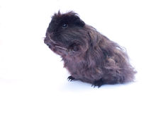 Funny black cavy on white. Funny black cavy standing on white background Stock Image
