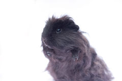 Funny black cavy on white Stock Image