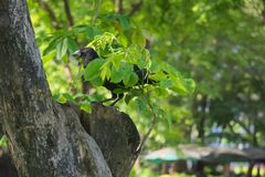 A funny black crow camouflaging itself under a tiny tree branch, in a lush Thai garden park. A funny black crow camouflaging itself under a tiny tree branch, in stock photography