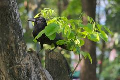 A funny black crow camouflaging itself under a tiny tree branch, in a lush Thai garden park. A funny black crow camouflaging itself under a tiny tree branch, in royalty free stock photography