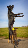 Funny black dog leaping straight up for ball Royalty Free Stock Images