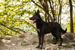 Funny Black Dog Stands on Grass Outdoor Stock Photos
