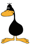 Funny Black Duck. Stock Photo