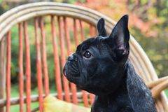 French bulldog puppy close up Royalty Free Stock Images