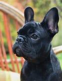 French bulldog puppy close up Royalty Free Stock Photo