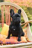 French bulldog puppy close up Royalty Free Stock Photography